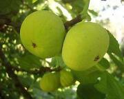 Fig Tree Seeds