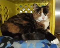"Senior Female Cat - Domestic Short Hair: ""Cleopatra"""