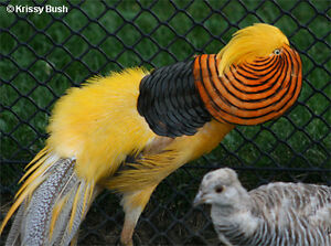 Selling Quad of Yellow Golden Pheasants