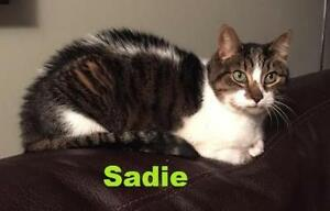 "Senior Female Cat - Domestic Short Hair: ""Sadie - Sweet senior!"""