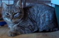 "Young Male Cat - Domestic Short Hair-Tabby: ""Al"""