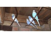 Lovely Baby budgies Blue Budgies and Pure White Budgies and Blue/White Budgies