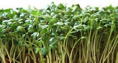 Curled Cress Seed  Sprouts  Heirloom  Organic 25  Seeds  Broadleaf  Micro Greens