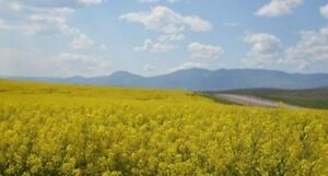 Looking for HEATED and GREEN canola