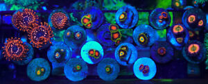 High End Zoanthids SALE Zoas Saltwater Zoos marine coral frags