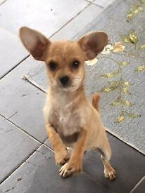 Chihpoo Male puppy for sale Ready Now!