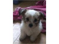 Shih-shon puppy