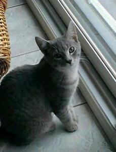 "Young Male Cat - Tabby - Grey: ""CHARLIE"""