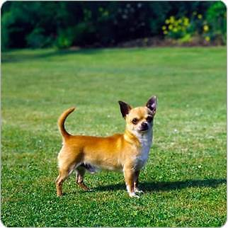 looking 4 small breed pug, sausage dog, Chihuahua x Howrah Clarence Area Preview