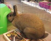 """Young Female Rabbit - Dwarf: """"Caramel"""""""