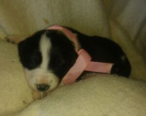 Border Collies CBCA Registered