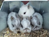 Baby Holland Lop & Netherland Dwarf Rabbits *all sold/reserved*