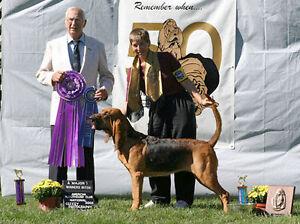 Bloodhound puppies CKC reg'd