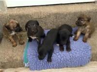 beddlington x weaton x whippet pups