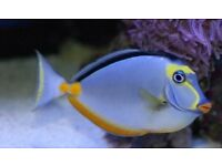Lipstick tang naso marine tropical salt reef fish Tank aquarium
