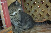 "Adult Female Cat - Tabby - black: ""FATIMA"""