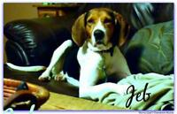 "Young Male Dog - Treeing Walker Coonhound: ""Jeb"""