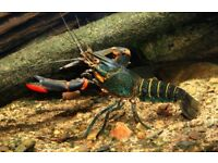 Freshwater Blue Lobster | Red Claw Crayfish | 4 inch | £8.95 each or x2 for £16.95