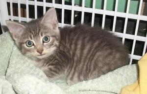 "Young Male Cat - Domestic Short Hair-Tabby: ""Carlos"""