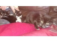 Four beautiful 13 weeks old kittens all flead and wormed