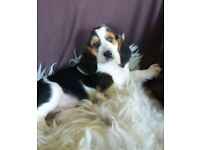 basset hound puppies for sale boys and girls