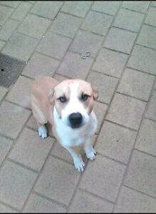 LOST!!!  BELOVED FAMILY DOG! Kwinana Beach Kwinana Area Preview
