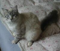BLUE EYED SMOKEY LOVELY male  cat