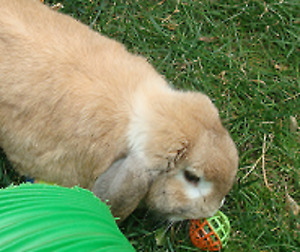 Timmie the Lop Ear Bunny Looking For a New Forever Home