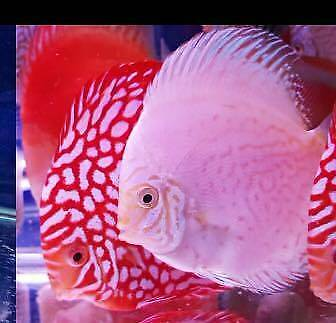 Quality Discus For Sale