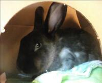 "Young Female Rabbit - American: ""Flora"""