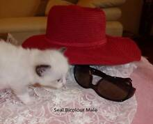 Purebred Ragdoll Kitten Registered Breeder Dural Hornsby Area Preview