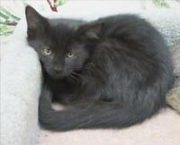 "Baby Female Cat - Domestic Medium Hair: ""375317"""