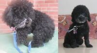 Clean and Cute Dog Grooming for the smaller ones in North York
