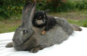 GIANT GERMAN/ CONTINENTAL RABBIT/ BUNNY FOR ADOPTION !!!!!