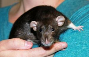 "Adult Male Small & Furry - Rat: ""KitKat"""