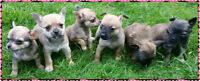 Chihuahua puppies (**ONLY 2 LEFT**)
