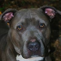 """Adult Male Dog - Pit Bull Terrier: """"Blue"""""""