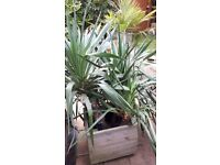 Outdoor hardy yucca plant