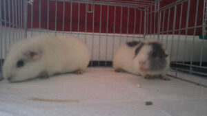 "Two Female ""Teddy"" Guinea Pigs"