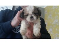 Shihtzu pups looking for their forever homes, fully weaned and wormed.