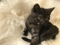 Beautiful British shorthair kittens ready 10th October pedigree bsh kittens
