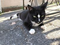 Black and White cat found