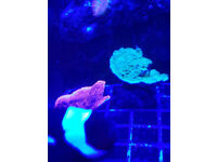 frags plate montipora coral marine