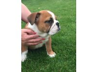 KC reg English bulldog pup