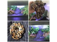 *REDUCED* Royal Ball Python + Tank + Viv + MORE! *REDUCED*