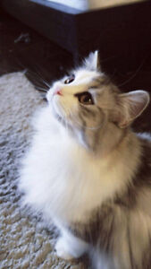 1 YEAR OLD PERSIAN MIX FEMALE LOOKING FOR A NEW HOME
