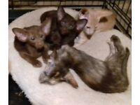 Oriental kittens for sale a Cinaman, chocolate tortie girls & Havana boy.