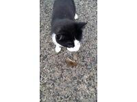 Lost Black and White Entire Male Cat