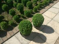 "Pair of box ball approx plants 30cm (12"") high"