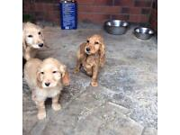 Cockapoo puppy's